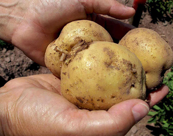 Potatoes-in-Hands-cropped
